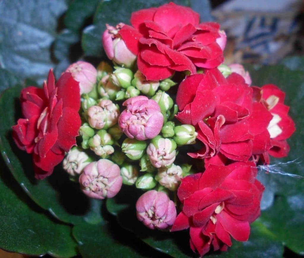 Un kalanchoé en fleur