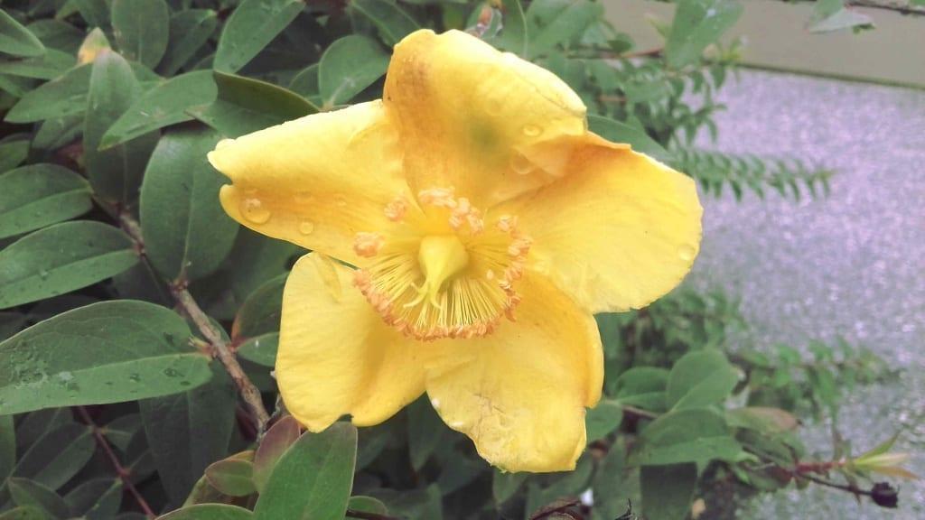 Le Millepertuis, une fleur jaune
