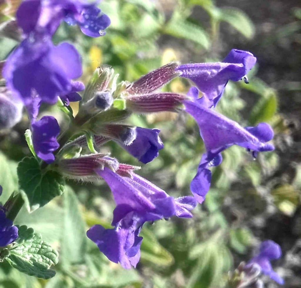 Des népétas en fleurs