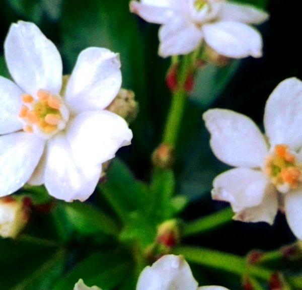 Fleurs blanches d'un oranger du Mexique