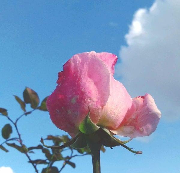 Une rose