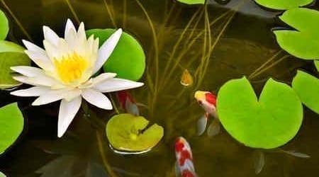 Nénuphar dans un bassin aquatique